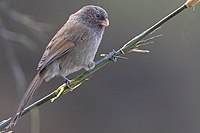 Brown Parrotbill Zuluk, East Sikkim, Sikkim, India 24.04.2015.jpg