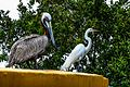 Brown Pelikan (Pelecanus occidentalis) and Great Egret (Casmerodius albus) - (19335510992).jpg