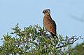 Brown Snake Eagle (Circaetus cinereus) (16523251576).jpg