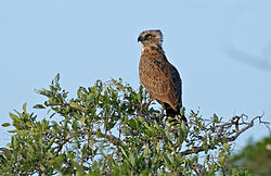 Brown Snake Eagle (Circaetus cinereus) (16523251576).jpg