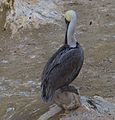 Brown pelican in La Jolla (70674).jpg