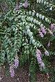 Buddleia davidii (Fringe-eye Butterflybush) (36488331202).jpg