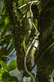 Buff-browed Foliage-gleaner - Brazil S4E9439 (16750750832).jpg