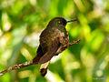 Buff-tailed Coronet (Boissonneaua flavescens) 1.jpg