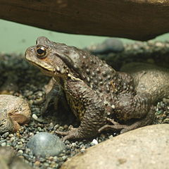 Bufo torrenticola by OpenCage.jpg