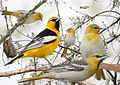 Bullock's Oriole from The Crossley ID Guide Eastern Birds.jpg
