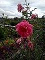 Bunga Mawar2.jpg