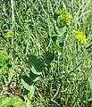 Bupleurum rotundifolium sl13.jpg