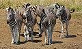 Burchell's Zebras (Equus quagga burchellii) (6829038281).jpg