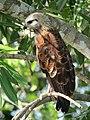 Busarellus nigricollis Gavilán cienaguero Black-collared Hawk (6264819321).jpg