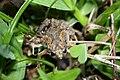 Butler's Pygmy Frog (Microhyla butleri) 粗皮姬蛙10.jpg