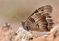 Butterfly Hermit - Chazara briseis - Cadı.JPG