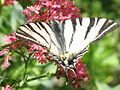 Butterfly and flower - panoramio.jpg