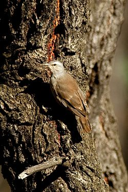 CSIRO ScienceImage 10471 Brown Treecreeper Chiltern Victoria.jpg