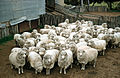 CSIRO ScienceImage 213 Sheep in a Pen.jpg