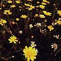 Calendula arvensis flower.jpg