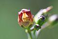 California Bee Plant (Scrophularia californica).jpg