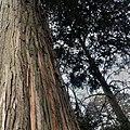 California incense-cedar , Shevchenko`s park, Ivano-Frankivsk.jpg