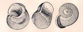 Callomphala globosa 001.jpg