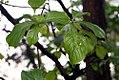 Calycophyllum candidissimum 3zz.jpg