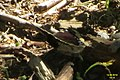 Camberwell beauty (Pek) (11085497793).jpg