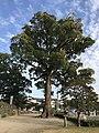 Camphor tree in Ogi Park.jpg