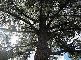 Pinus canariensis - Image: Canary Island Pine 02Melbourne Botanic Gardens