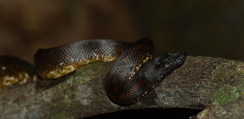 File:Candoia carinata - Siau Island (2).JPG