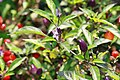 Capsicum frutescens Bolivian Rainbow 1zz.jpg