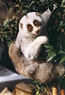 Bengal slow loris Species of primate