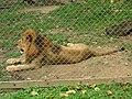 Caracas zoo lion.jpg
