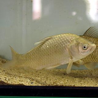 Japanese white crucian carp species of fish