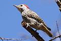 Cardinal Woodpecker - MALE, Dendropicos fuscescens at Pilanesberg National Park, Northwest Province, South Africa (14905416707).jpg