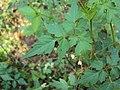 Cardiospermum halicacabum 20.JPG