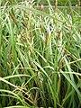 Carex acutiformis plant (03).jpg