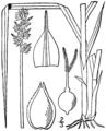 Carex cephaloidea BB-1913.png