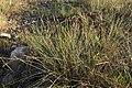 Carex extensa (8).jpg
