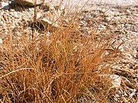 Carex filifolia.jpg