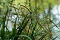 Carex pendula inflorescens (48).jpg