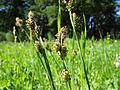 Carex raynoldsii (7509930812).jpg