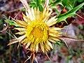 Carlina acanthifolia - panoramio.jpg