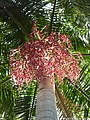 Carpentaria-acuminata 1.jpg