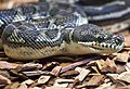 Carpet Python at rest-1and (4623128845).jpg