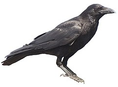 Carrion crow 20090612 white background.jpg