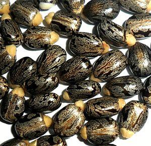 Ricin - Castor beans