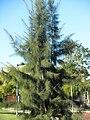 Casuarina equisetifolia Habitus 2010-10-26 ArboretoParqueElPilarCiudadReal.jpg