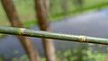 Casuarina glauca segment (15816451278).jpg