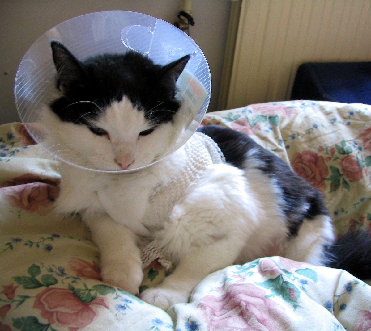 Cat with Elizabethan collar.jpg
