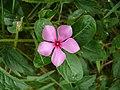 Catharanthus roseus, Kourou 2.jpg