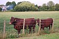 Cattle, Hawden Farm - geograph.org.uk - 1392042.jpg